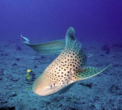 Leopard sharks at Koh Tachai