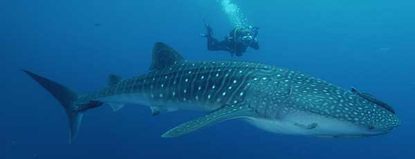 sustainable tourism in thailand with Blue Guru whale shark program