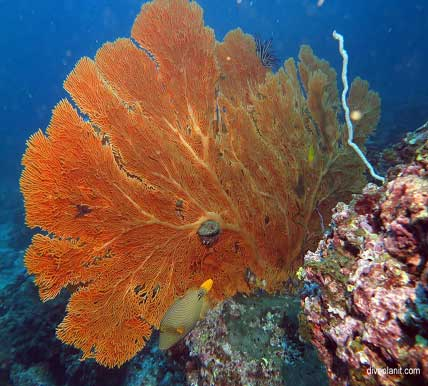 Richelieu Rock sea fan