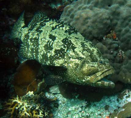 scuba diving for grouper